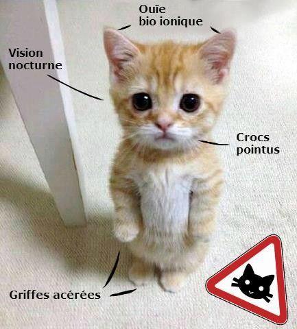 """Résultat de recherche d'images pour """"chat belge"""""""