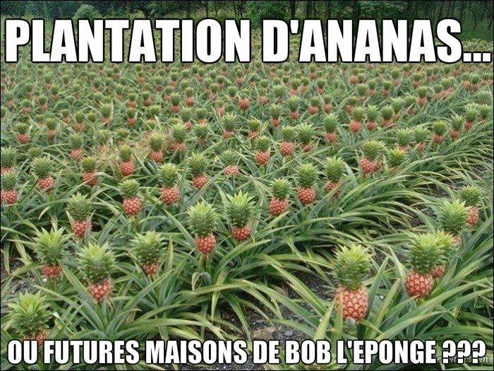 Ananas Bob L Éponge plantation d'ananas ou maisons de bob l'éponge